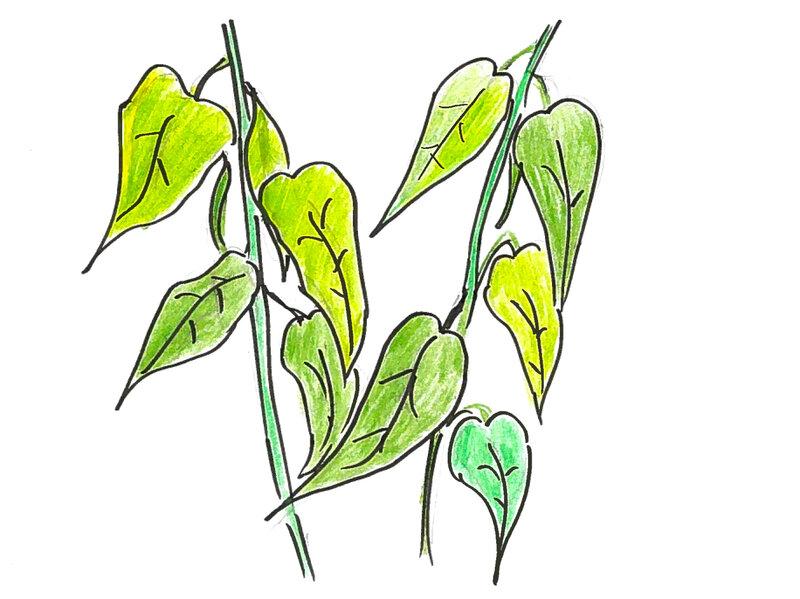 Plants Talk  Plants Listen  Here's How : Krulwich Wonders