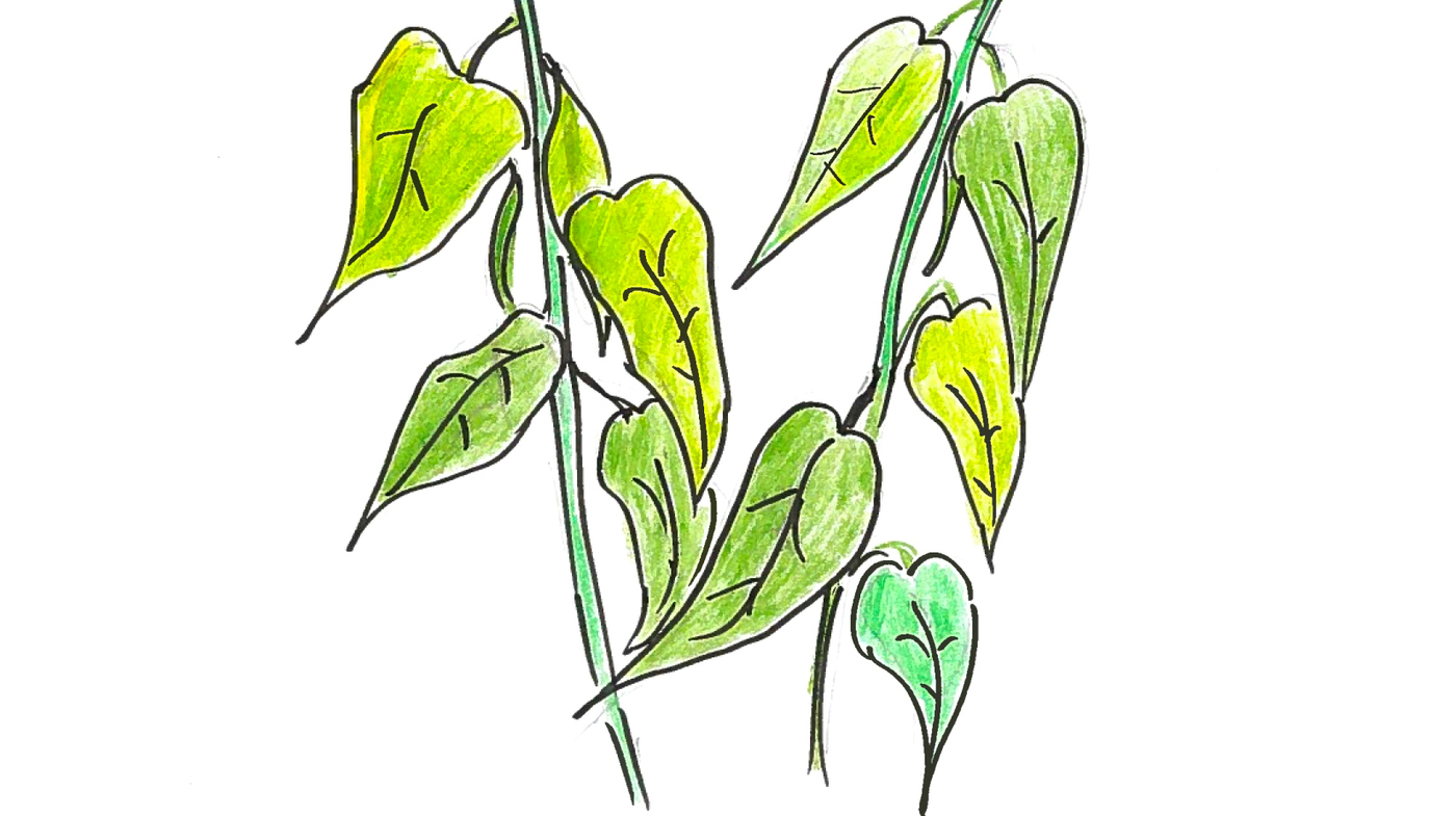 Plants Talk  Plants Listen  Here's How : Krulwich Wonders    : NPR