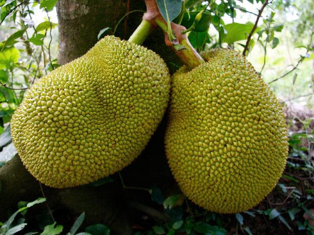 Jackfruits grow on the branches and trunks of tall trees. You don't wait to harvest until they drop of their own accord — by that time, they'd be overripe.
