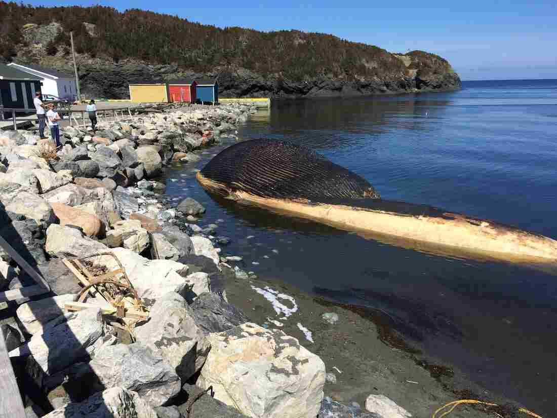 A blue whale carcass washed up last week in Trout River, Newfoundland, Canada.