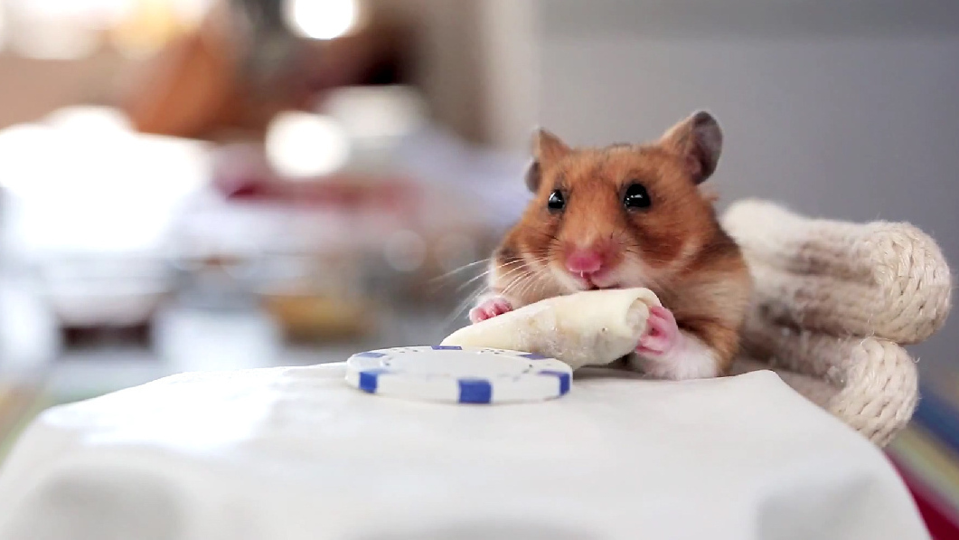 This Hamster Gets To Eat Two Tiny Burritos