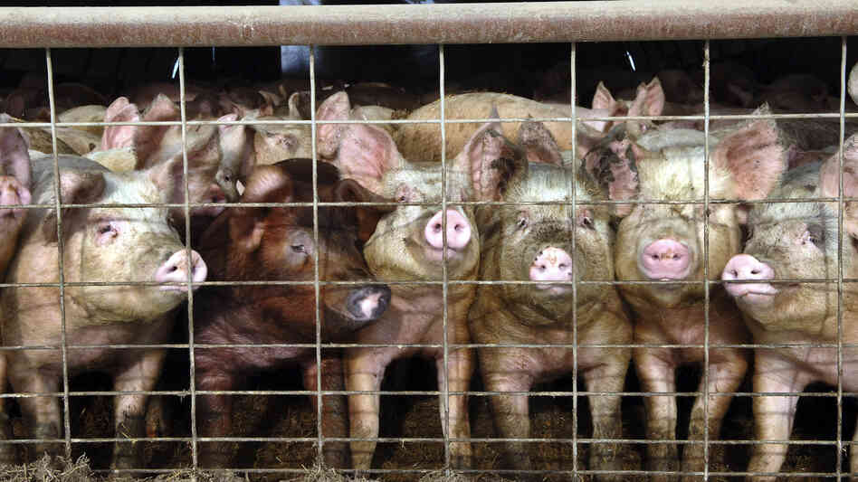 France has banned imports of live pigs and other products from the U.S. to keep out a virus that has killed more than 4 million pigs in the U.S. Here, young pigs look out of a pen at a North Dakota hog farm in a 2005 file photo.