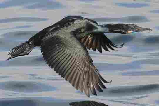 A Brandt's cormorant flies by the Monterey Harbor breakwater.