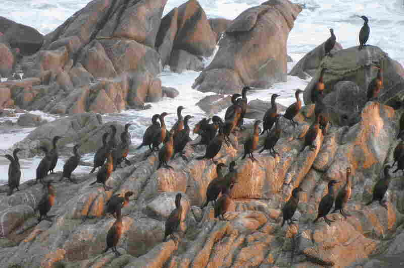 Cormorants retreat to the shore near the bay just before a storm in November 2012.