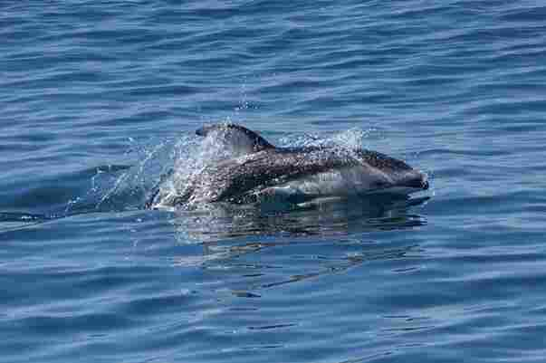 A Pacific white-sided dolphin seen last month in the bay.