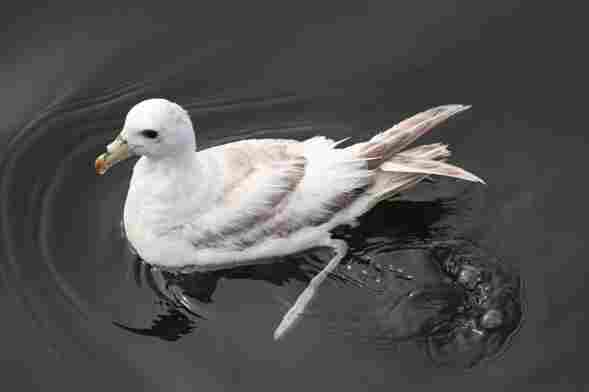 A northern fulmar swims in the bay.