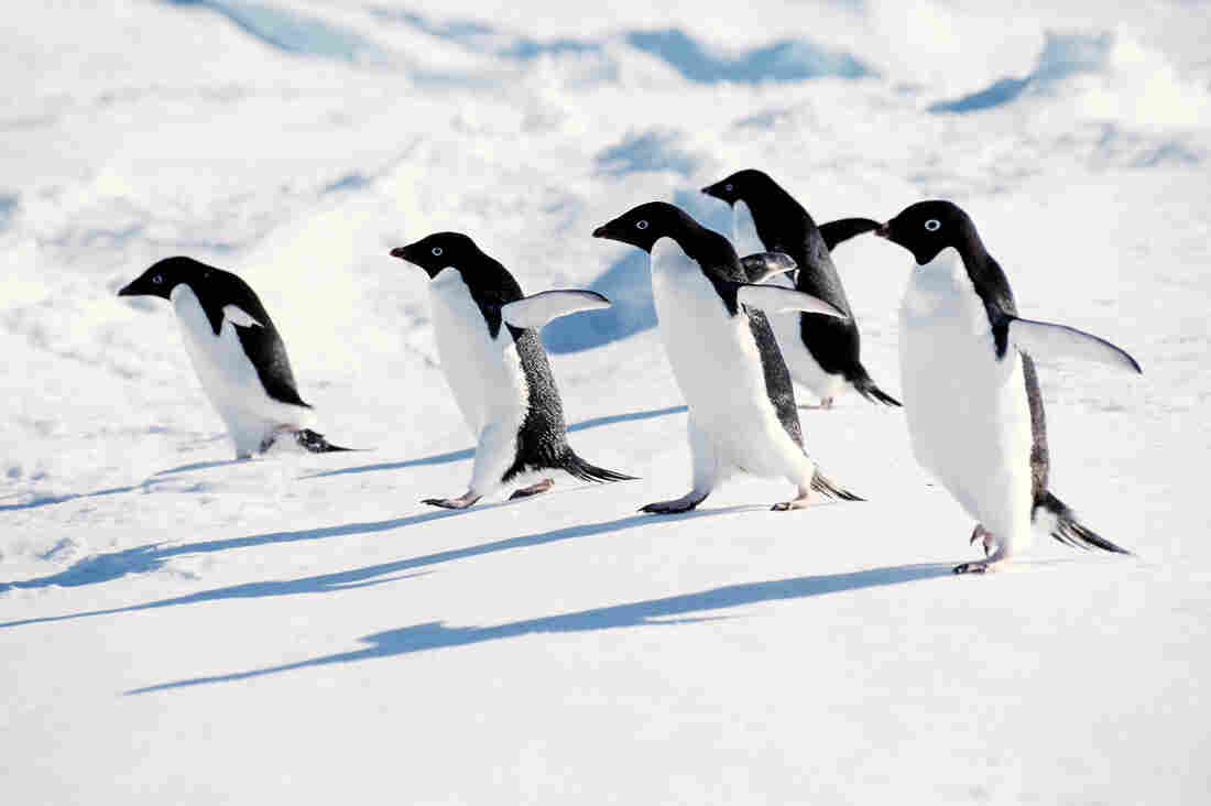 Adelie penguins frolic in Antarctica, unaware of a flu virus that circulates among them.