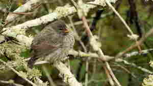 Scientists Help Galapagos Finches Get Rid Of A Nasty Nest Pest