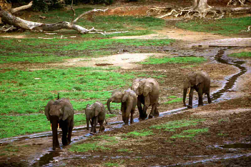 Elephants gather in the Dzanga bai, a forest clearing the size of several football fields. On some days more then 100 elephants at at a time visit the clearing.