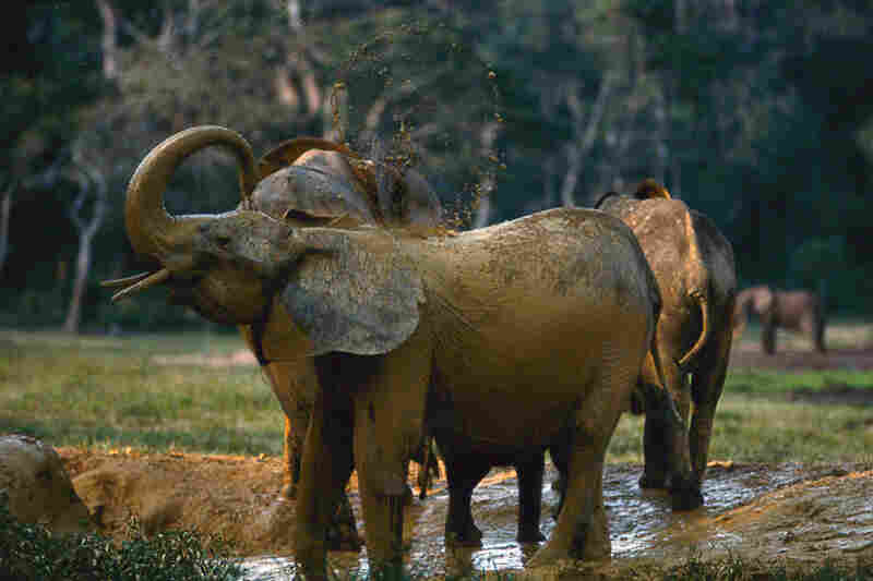 Elephants coming to the bai get essential minerals from the muddy water.