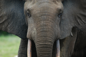 Researchers at the bai learned to identify individual elephants by the shape and characteristics of their ears.