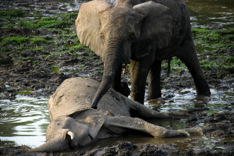 When Ele, a female elephant, died, other elephants approached one-by-one and touched their trunks to the body. This behavior is associated with mourning, field researchers say. (The Elephant Listening Project)