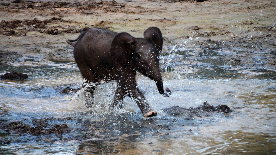 A young elephant splashes in a stream that runs through the bai. Unlike Savanna elephants, forest elephants don't have natural predators, such as lions. (The Elephant Listening Project)