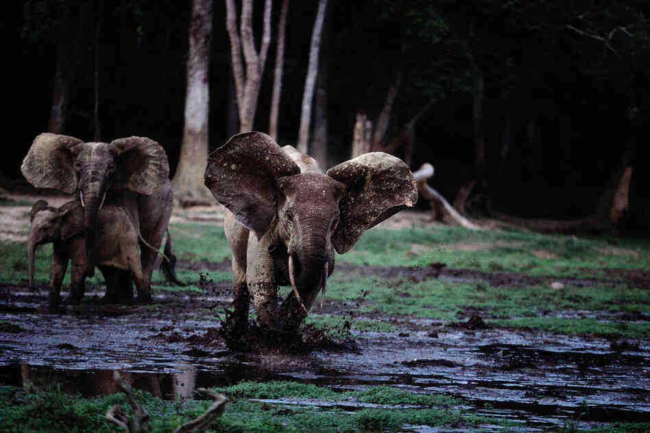 A female forest elephant charges, in Dzanga-Sangha Special Reserve in the Central African Republic.