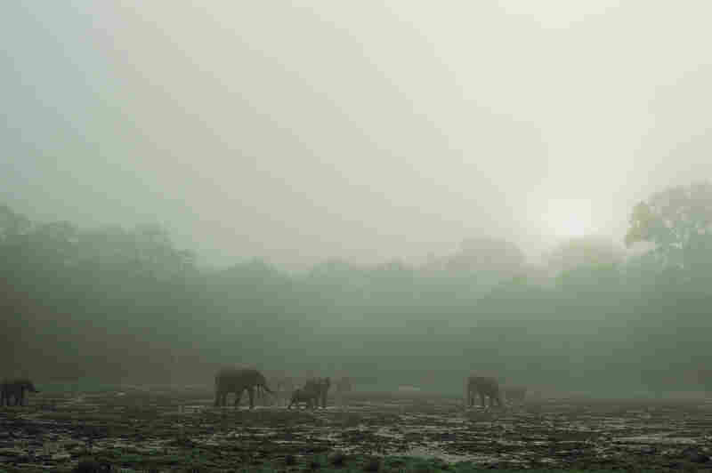 Forest elephants linger on a misty morning at the Dzanga bai.