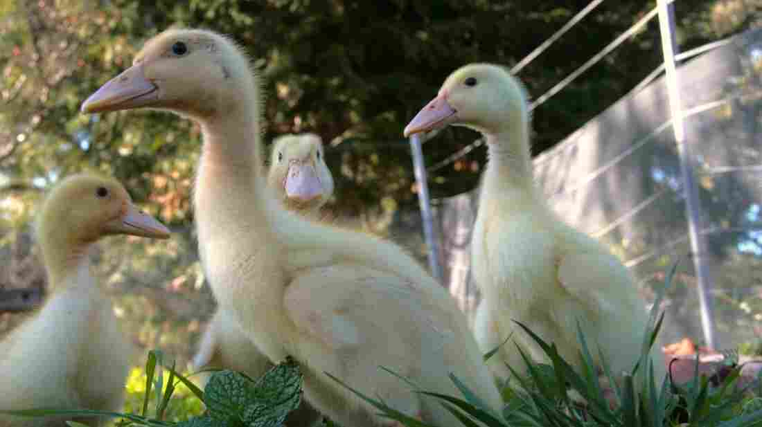Daniel Paduano's Pekin ducks search the grass for slugs, snails and insects, which make up a big part of their diet.