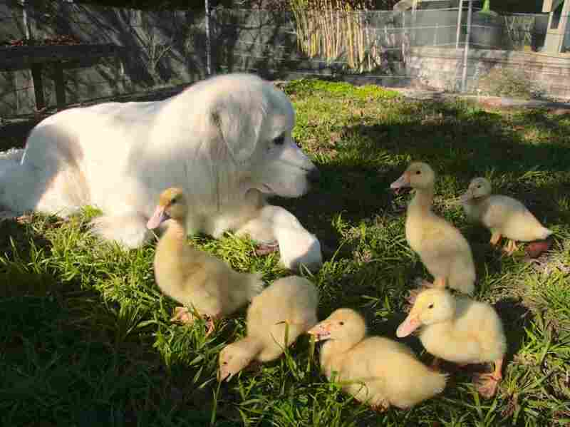 On Daniel Paduano's farm, the ducks and the dog are part of the family.