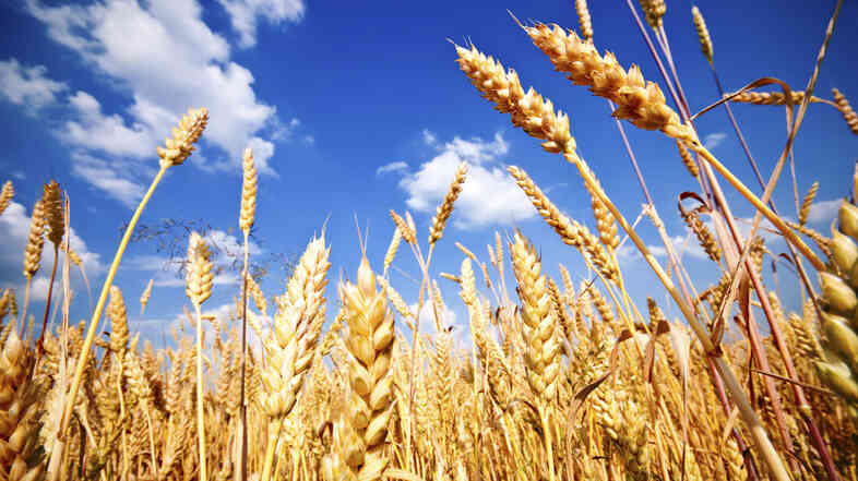 Wheat fields like this one could yield wheat with less zinc and iron in the future if they are exposed to higher levels of CO2, according to the journal Nature.