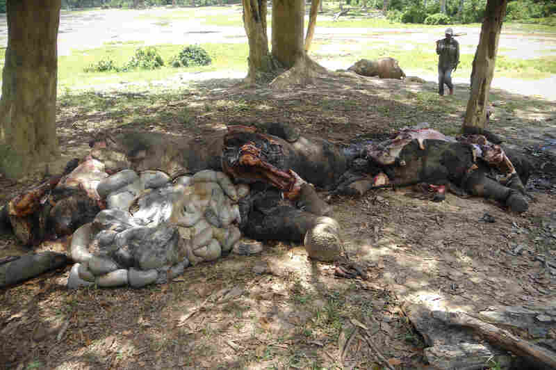 At least 26 elephants were massacred at the Dzanga Bai in the Central African Republic in the spring of 2013.
