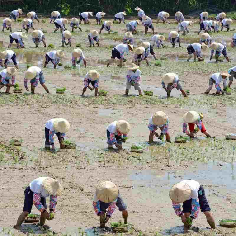 Rice Theory: Why Eastern Cultures Are More Cooperative