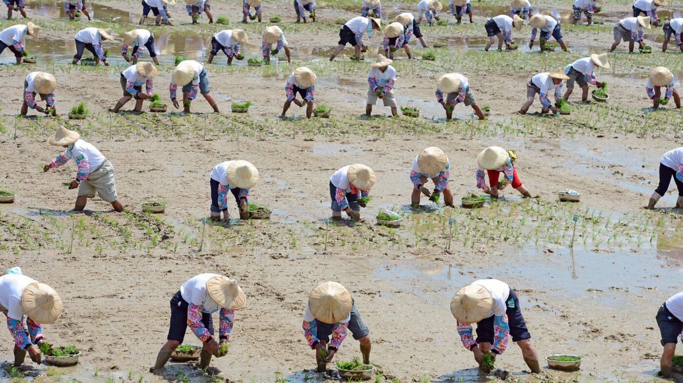 Rice Theory Why Eastern Cultures Are More Cooperative The