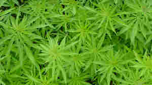 13 Spliffy Jobs In The Marijuana Industry