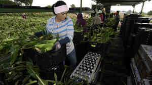 Migrant workers harvest corn on Uesugi Farms in Gilroy, Calif., in 2013.