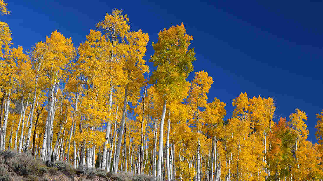 The Pando clone stands above Scenic Byway U25.