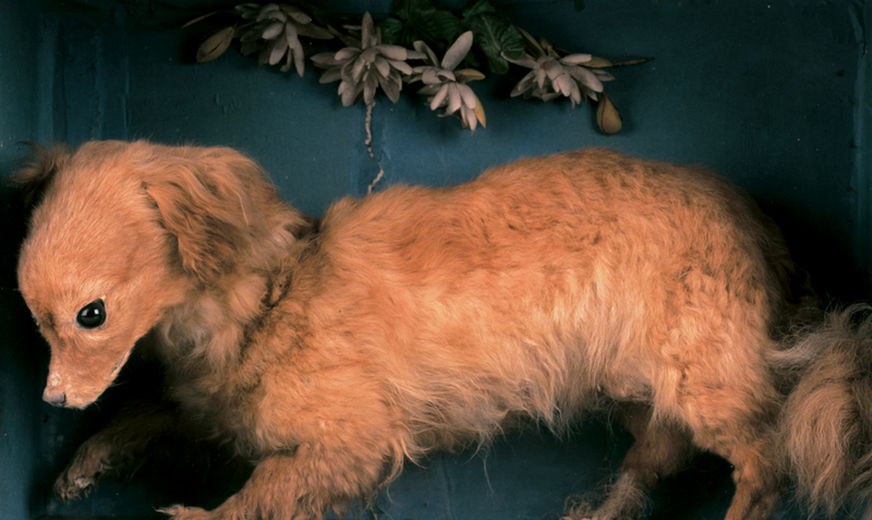 """""""Whiskey,"""" a taxidermied turnspit dog on display at the Abergavenny Museum in Wales."""