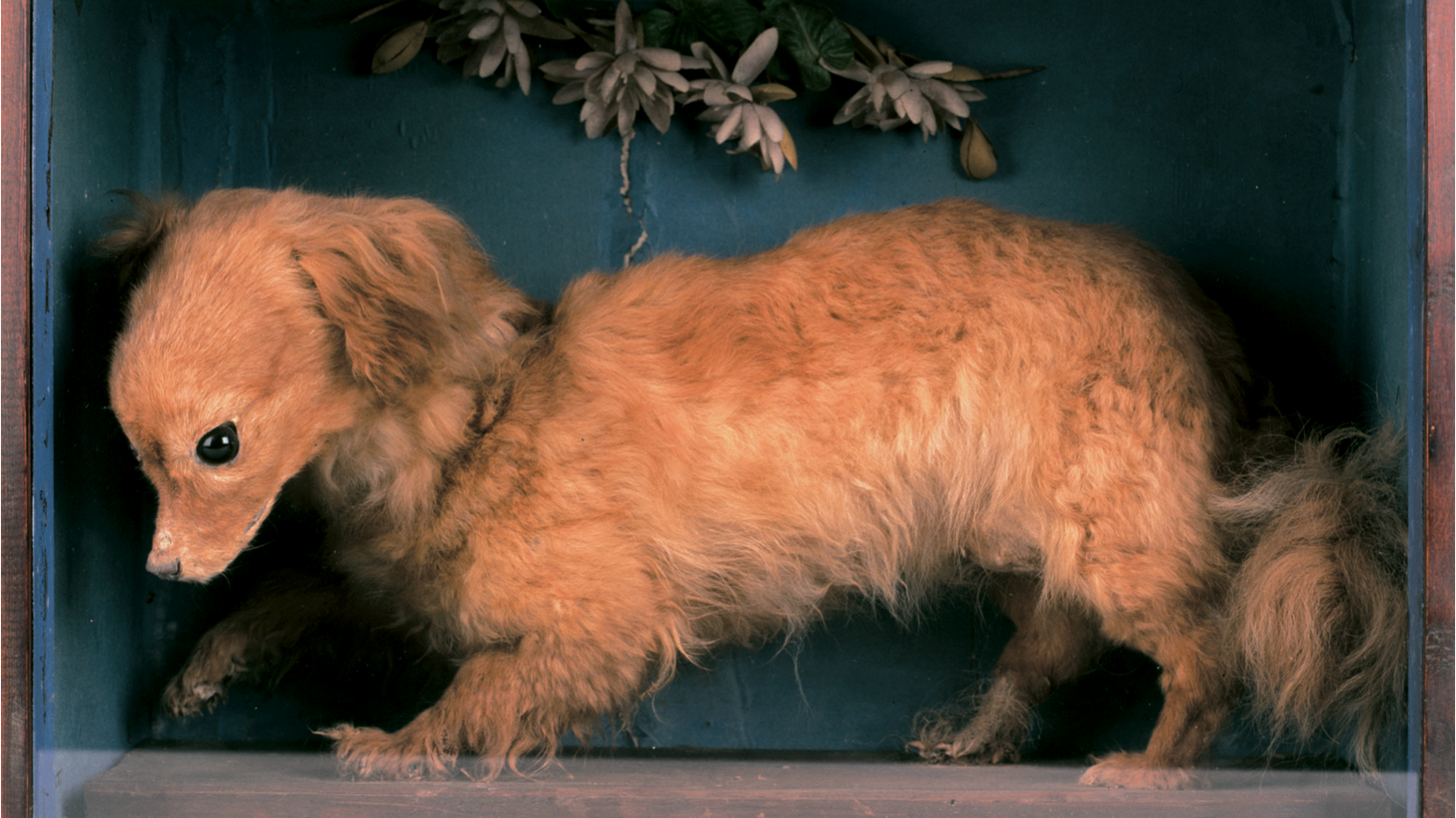 """Whiskey,"" a taxidermied turnspit dog on display at the Abergavenny Museum in Wales."