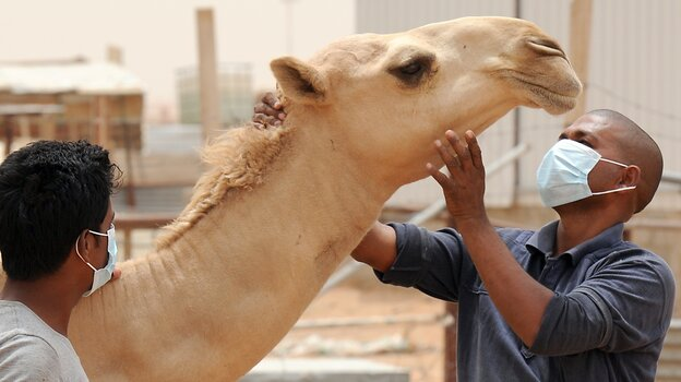 A farmworker in Riyadh, Saudi Arabia, wears a mask to protect against Middle East respiratory syndrome earlier this month. The MERS virus is common in camels.