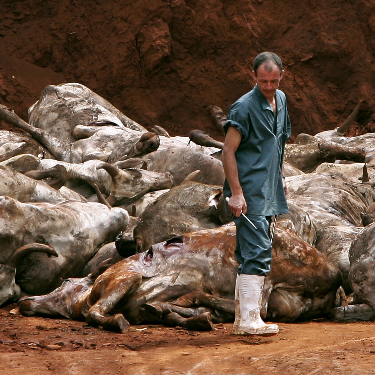 A butcher in Brazil stands by several dozen cattle slaughtered in 2006 to contain an outbreak of highly contagious foot-and-mouth disease.
