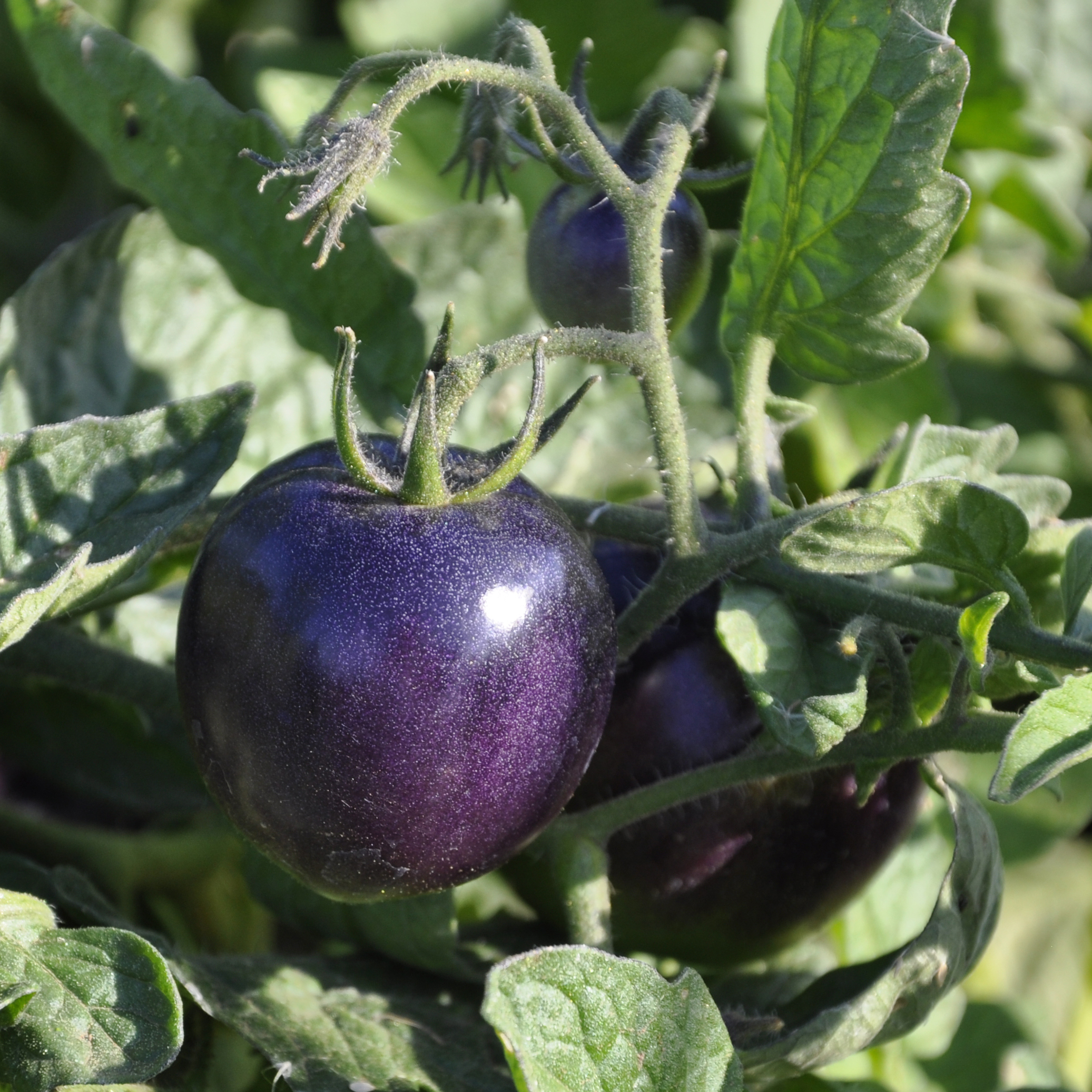 The Indigo Rose tomato was developed by Jim Myers, a vegetable breeder at Oregon State University.