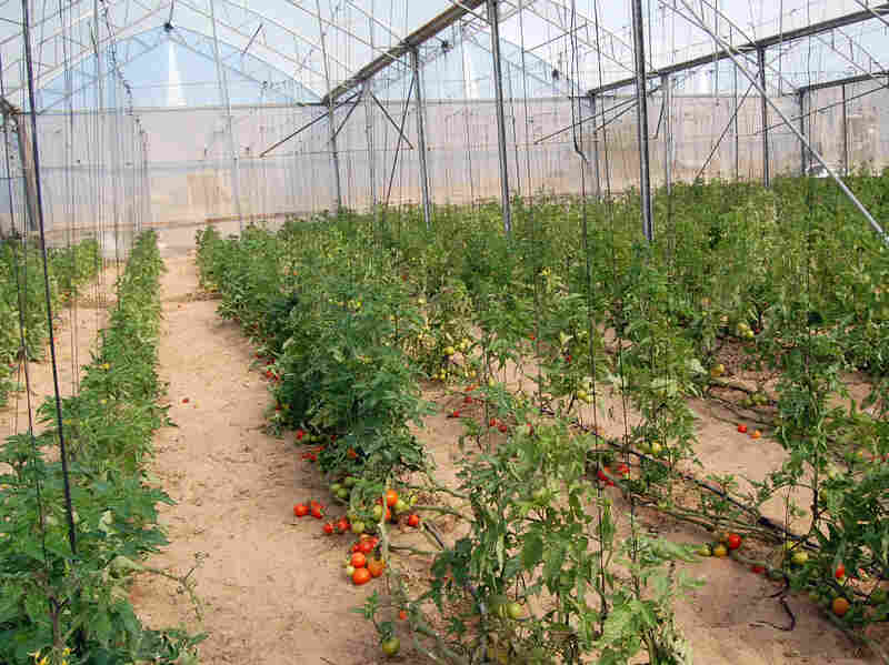 The Palestinian Center for Organic Agriculture grows local staples like tomatoes in greenhouses on the same land Israeli farmers once used.
