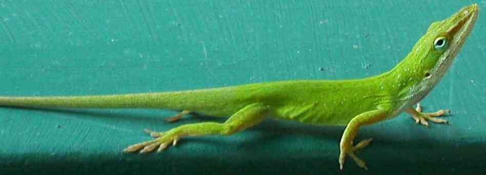 An anole — also known as the American chameleon — for your hair.