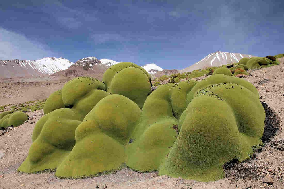 Llareta grows high in the mountains of Chile's Atacama Desert.