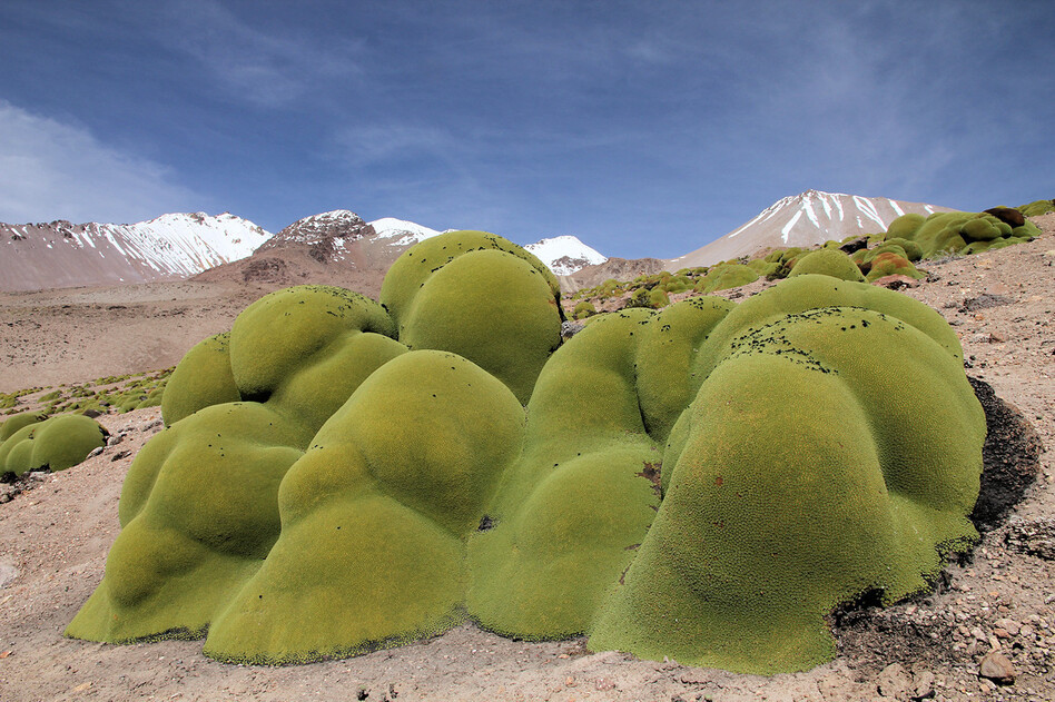 Llareta grows high in the mountains of Chile's Atacama Desert.