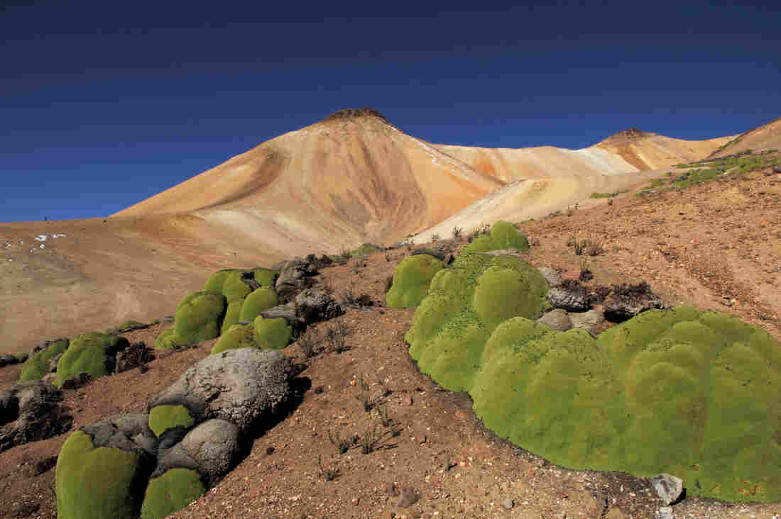 Llareta plants grow a little over a centimeter a year and can be 3,000 years old.