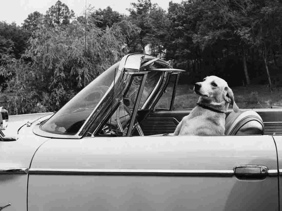 Dog driving a convertible car, of course.