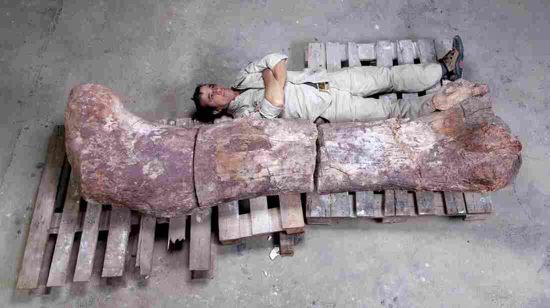 Pablo Puerta of the Museo Paleontologico Egidio Feruglio lies alongside a sauropod dinosaur femur. Paleontologists from the museum have announced the discovery of a new species of titanosaur, the largest animals known to walk the Earth.
