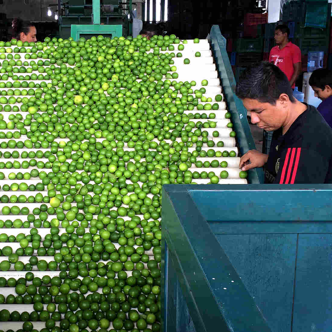 With Cartels On The Run, Mexican Lime Farmers Keep More Of The Green