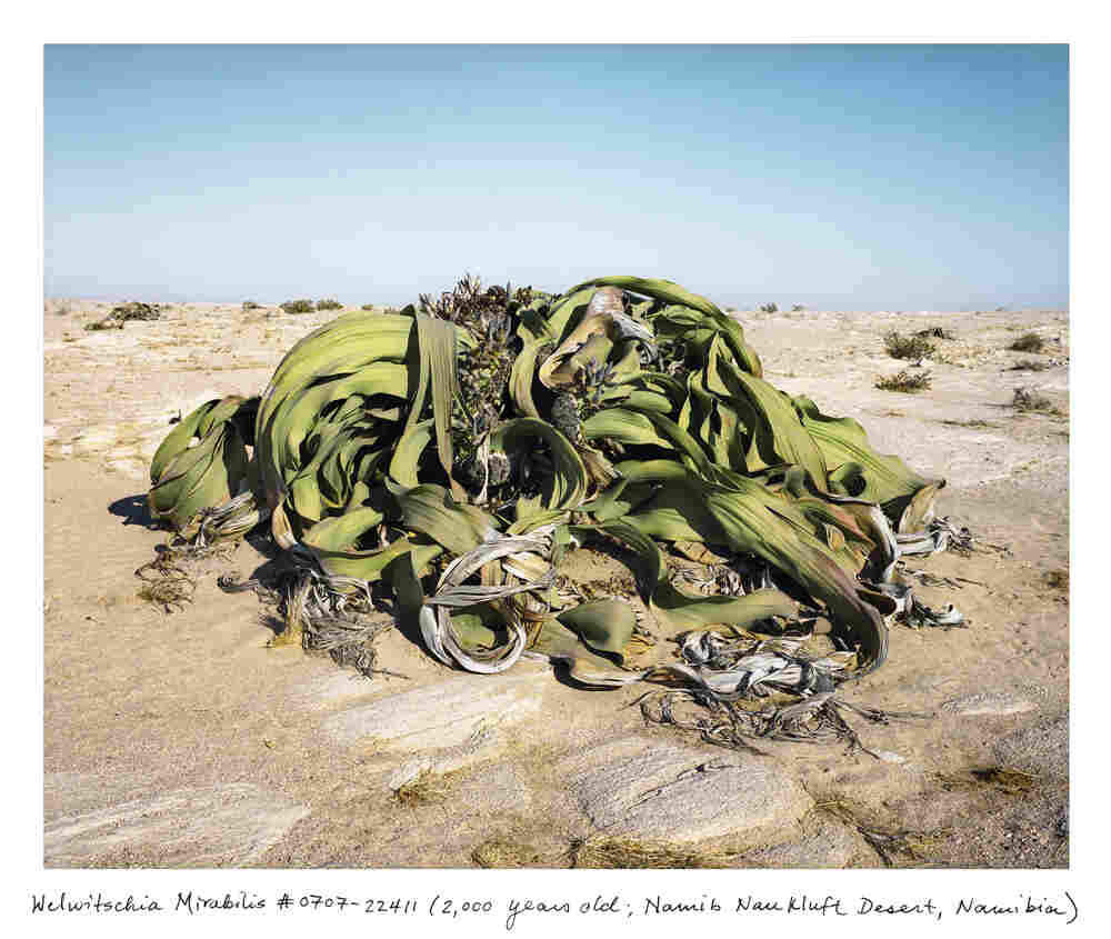A 2,000 year-old Welwitschia in the Namib-Naukluft Desert, Namibia.