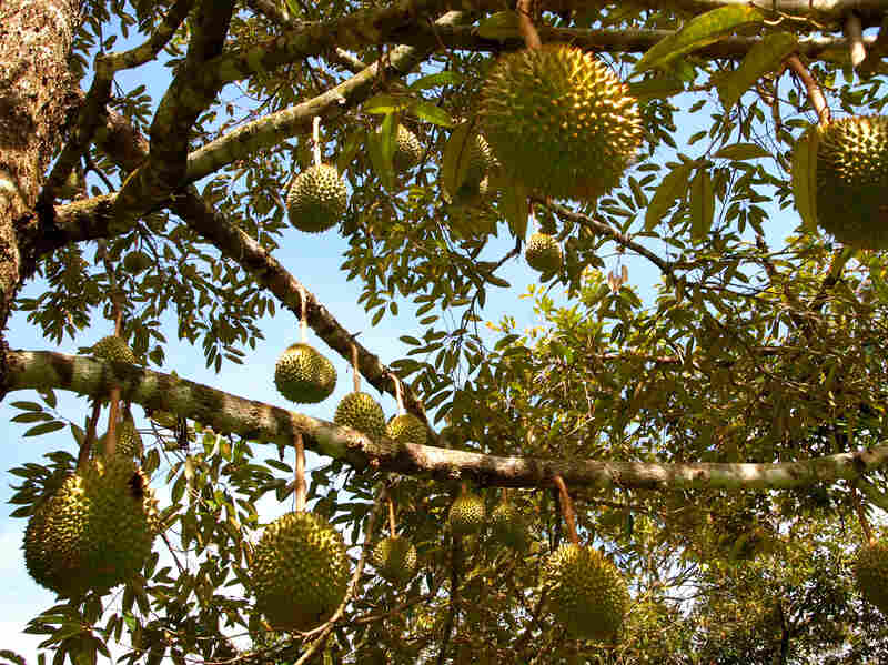 Durian fruit hangs from a tree.