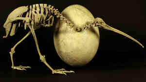 The egg definitely came before the chicken in this case — the skeleton is from a modern adult kiwi, the egg from its much bigger, long-extinct cousin, Aepyornis maximus.