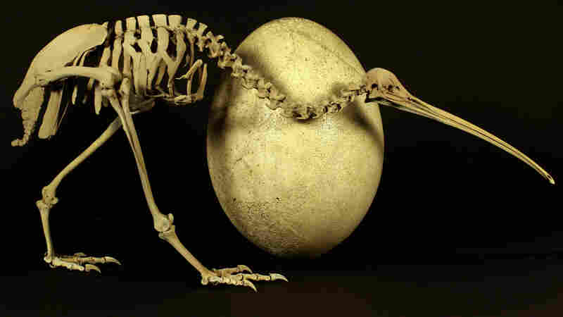 Big Flightless Birds Come From High-Flying Ancestors
