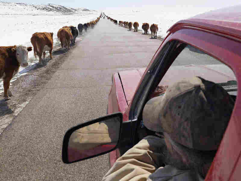 Moving Cattle to Spring Pasture, Boulder, Wyoming 2011