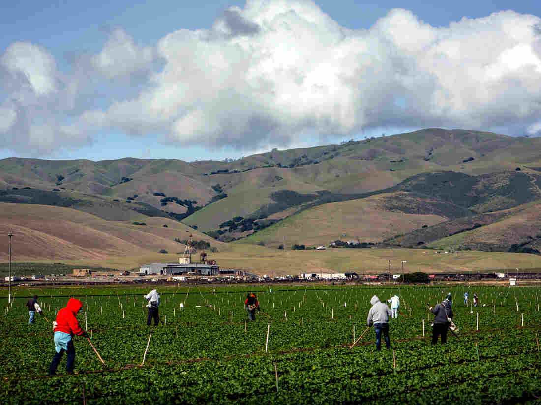 Farmworkers pull weeds from a field of lettuce near Gonzales, Calif. Salinas Valley farms like this one rely on wells, which haven't been affected much by the drought.