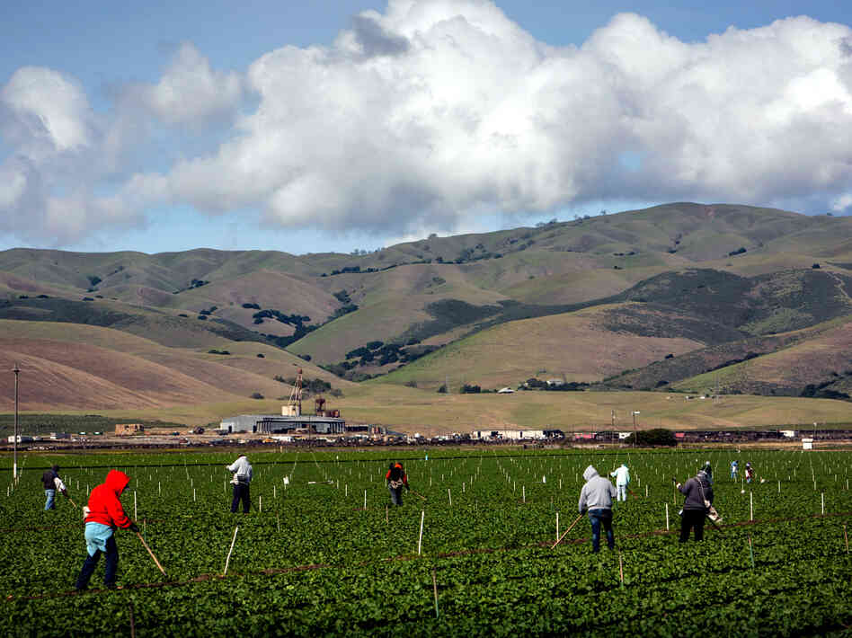 Farmworkers pull weeds from a field of lettuce near Gonzales, Calif. Salinas Valley farms like this one rely on wells, which haven't b