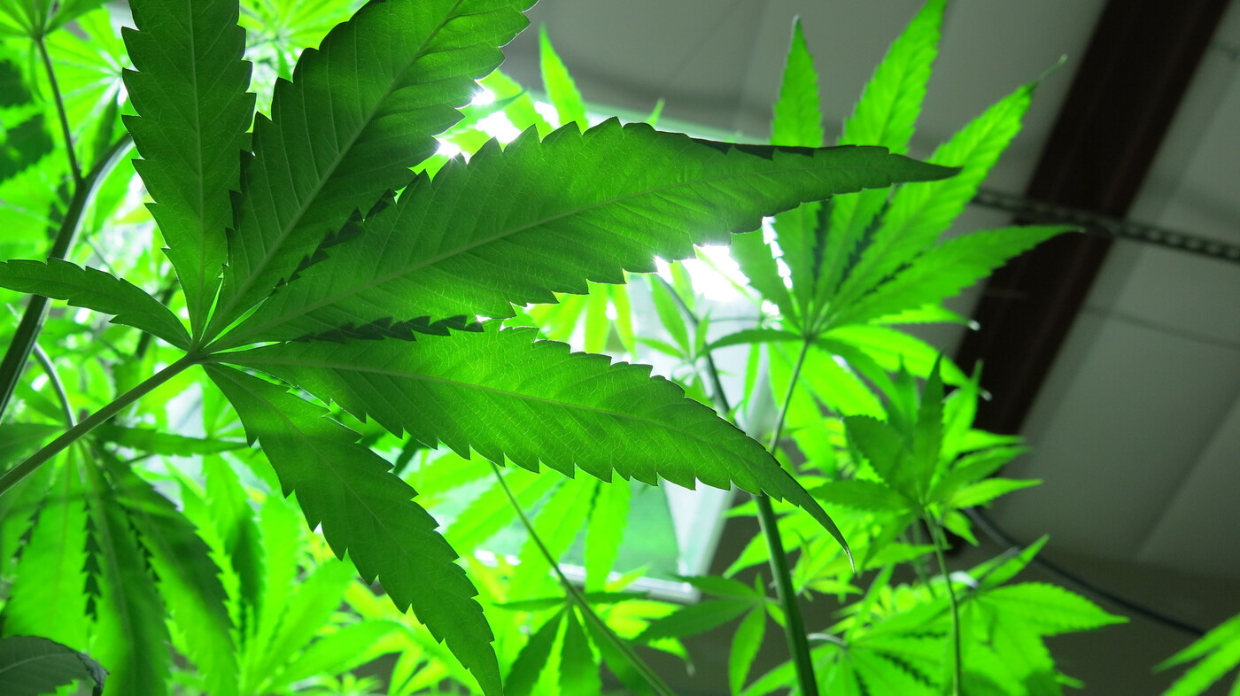 Industrial Hemp Could Take Root, If Legal Seeds Werent So -5789