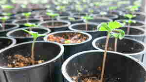 The hemp seedlings in Ben Holmes' warehouse in Lafayette, Colo., will be ready for harvest in about 50 days. Holmes says that during the peak growing season, the little sprouts can shoot up several inches each day.